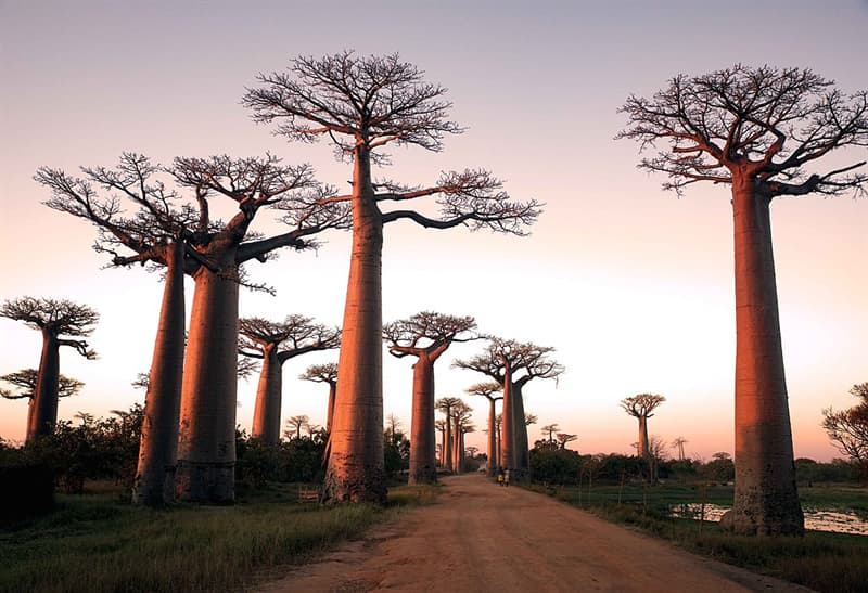 Geography Story: #8 Avenue of the Baobabs, Madagascar