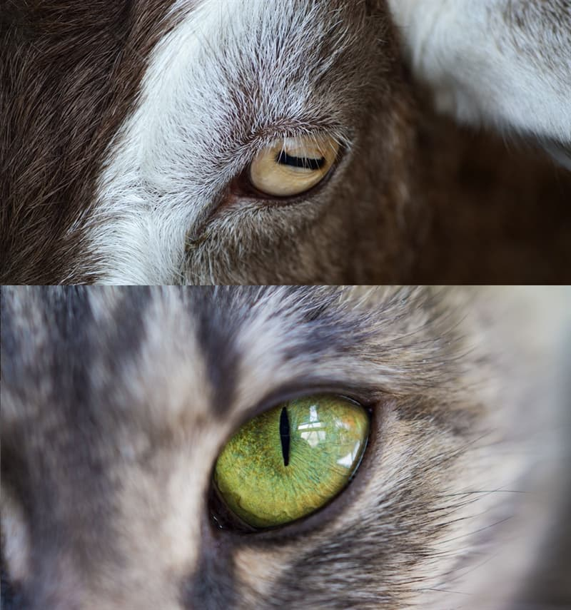 Nature Story: #7 The pupils of potential prey are horizontal to watch surroundings. In predators, they are vertical to better focus on the prey.