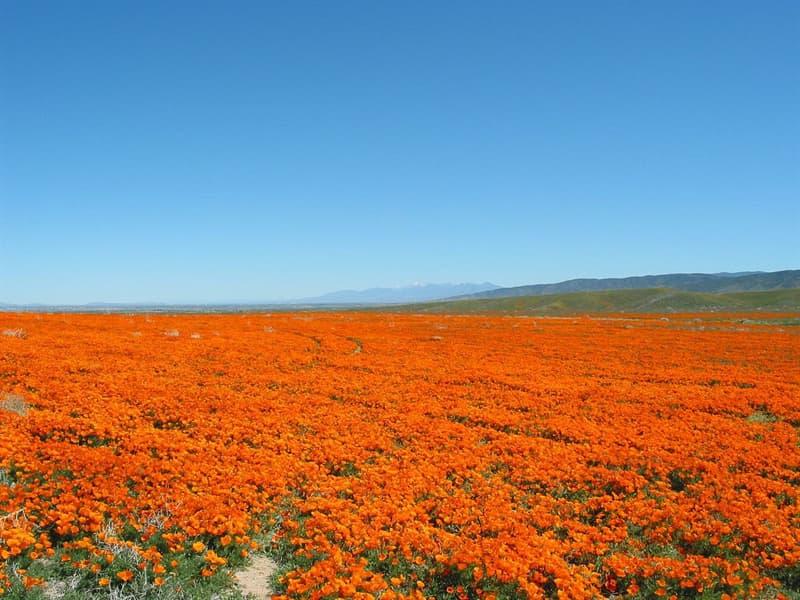Nature Story: #3 Antelope Valley California Poppy Reserve, California, USA