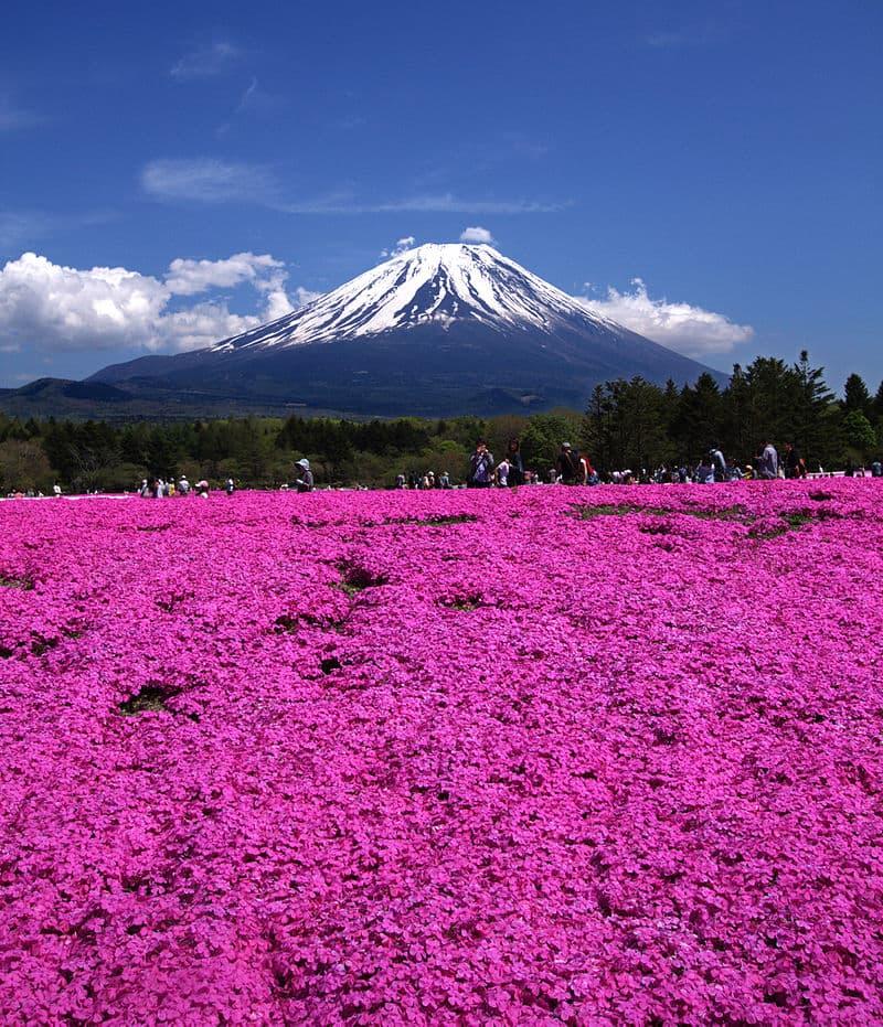 Nature Story: #4 Fuji Shibazakura Festival, Japan