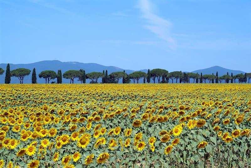 Nature Story: #5 Sunflower fields, Tuscany, Italy
