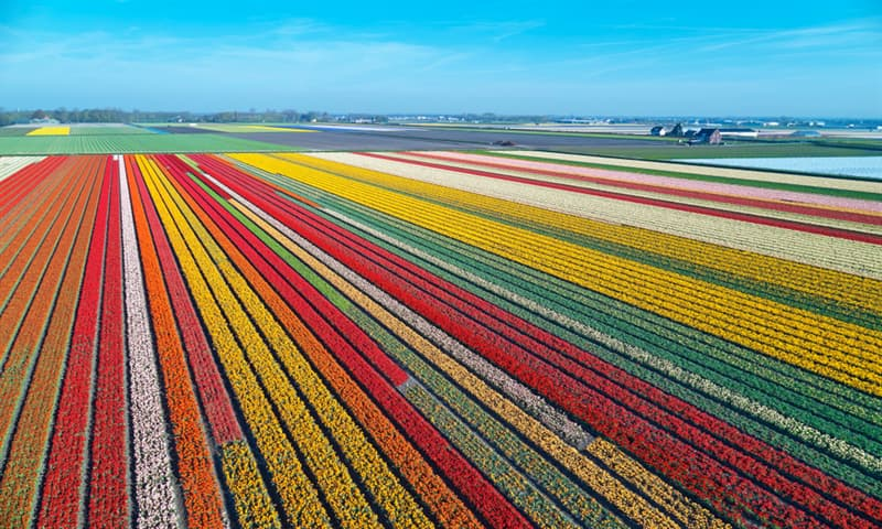 Nature Story: #6 Tulip fields in the Netherlands
