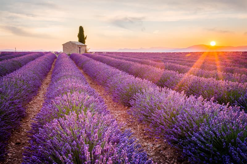 Nature Story: #7 Lavender fields of Provence, France