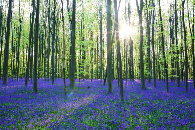 Nature Story: #8 Hallerbos Forest, Belgium