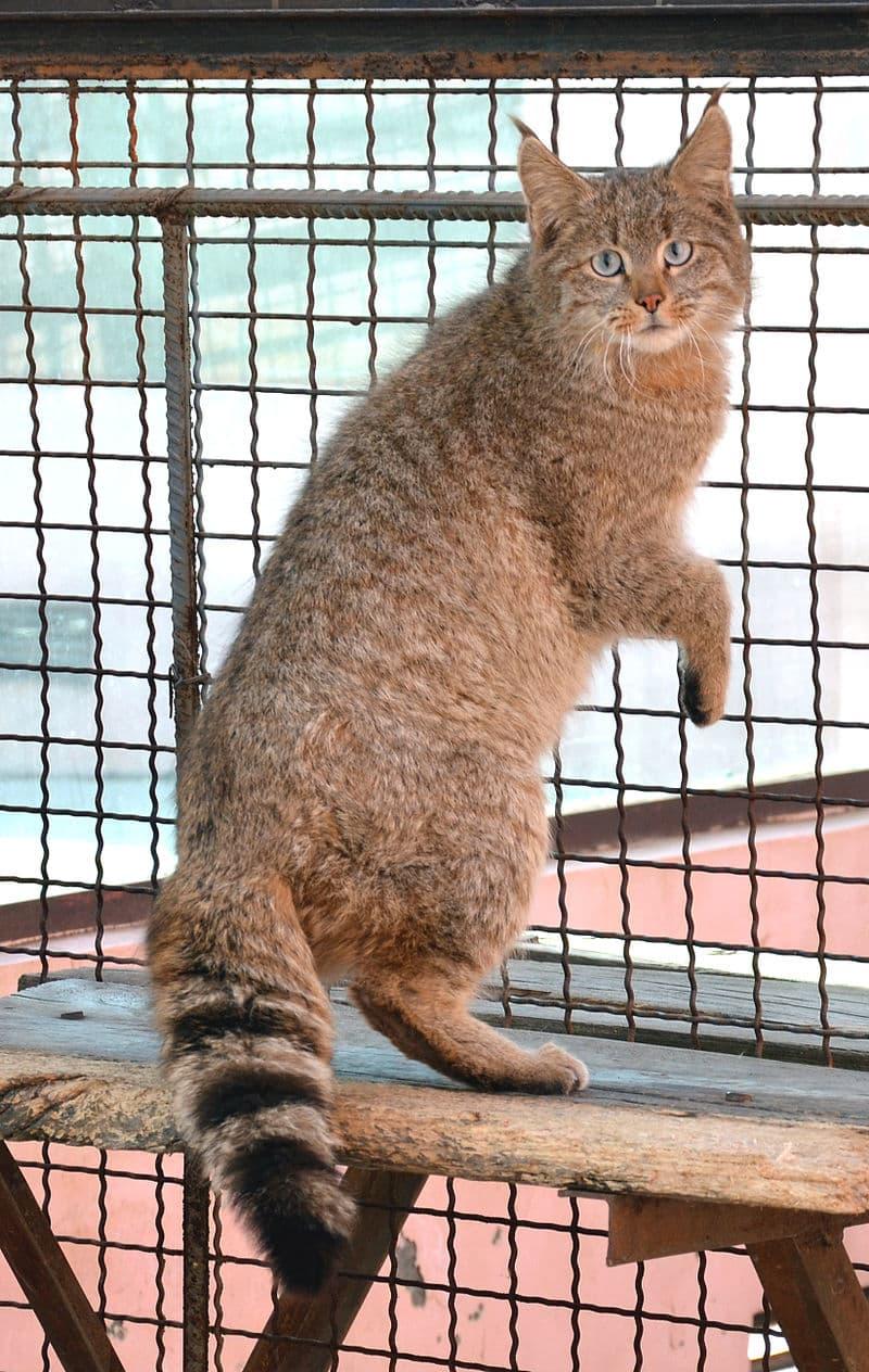 Nature Story: #7 Chinese Mountain cat