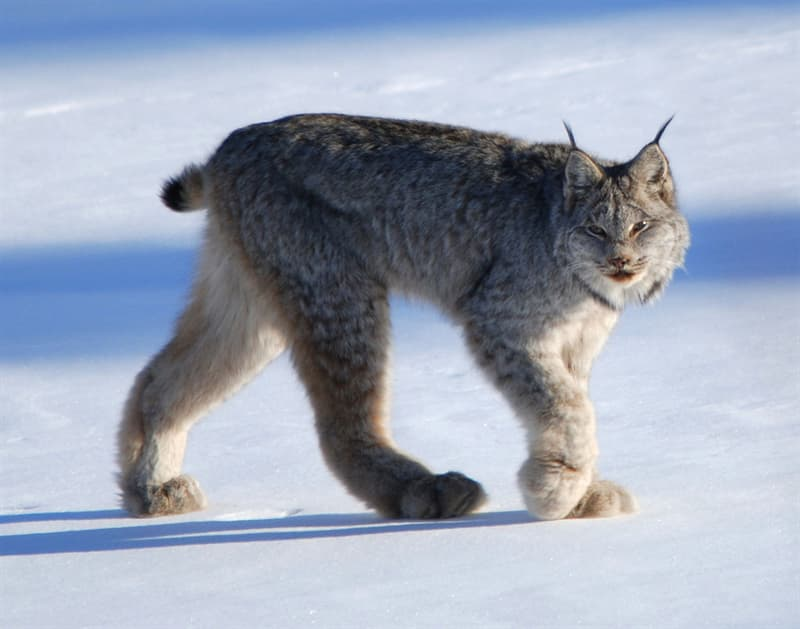Nature Story: 10 little-known wild cat species you've never heard of