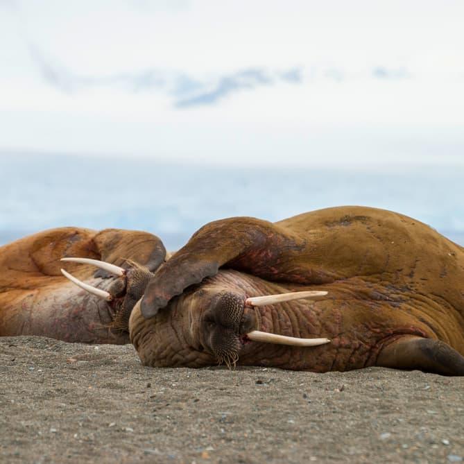 Nature Story: #3 Walruses can sleep anywhere