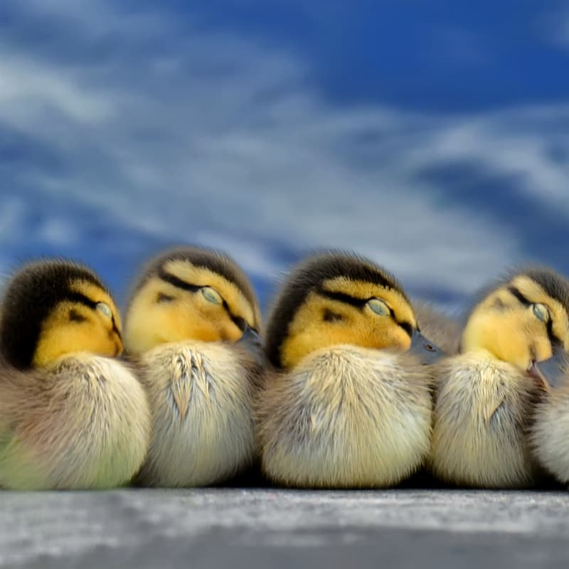 Nature Story: #5 Some ducks sleep with one eye open