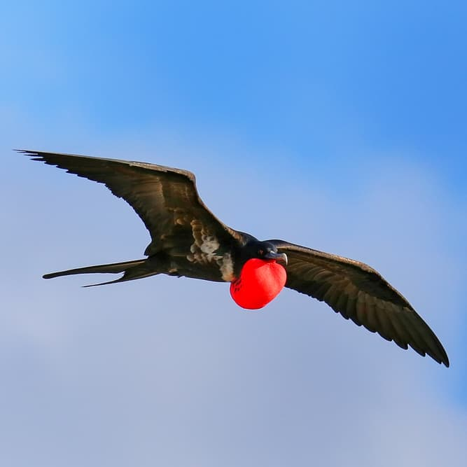 Nature Story: #6 Great frigatebirds can sleep while flying
