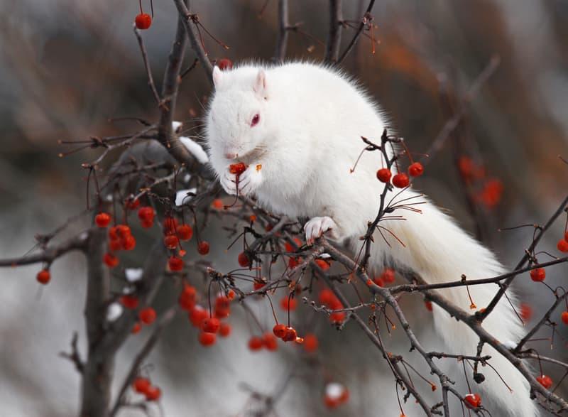 Nature Story: #1 Albino squirrel enjoys berries