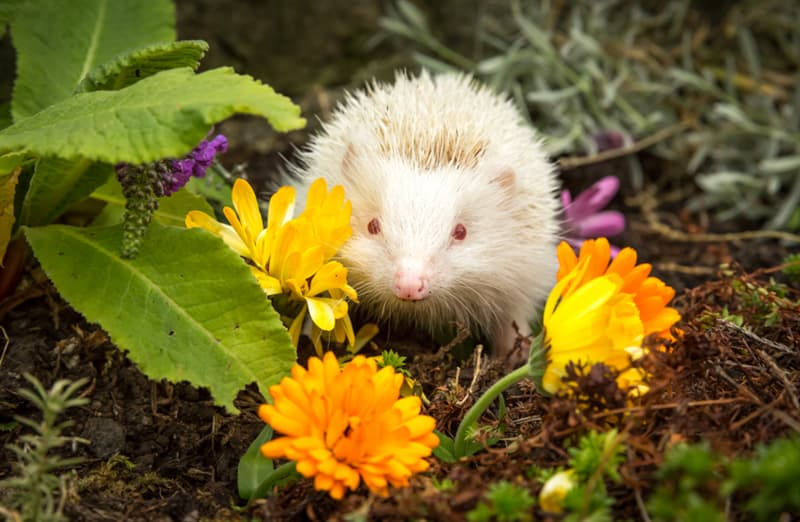 Nature Story: #10 Does this albino hedgehog realize how cute he is?