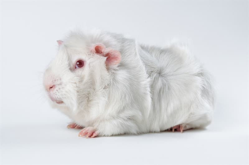 Nature Story: #12 Fluffy and adorable guinea pig