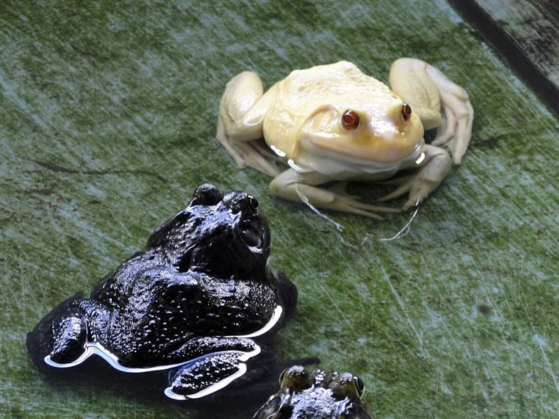 Nature Story: #13 There are albino frogs too