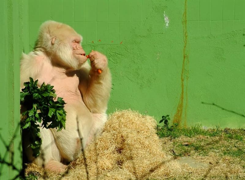 Nature Story: #7 Snowflake, an albino gorilla who lived in Barcelona Zoo until his death in 2003