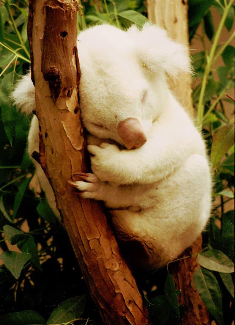 Nature Story: #9 A very rare albino koala