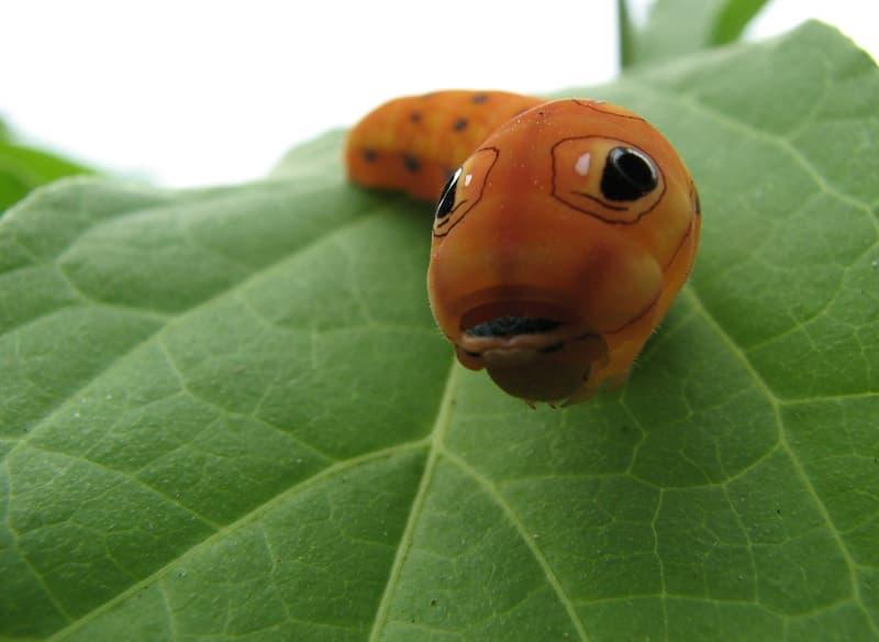 Nature Story: #10 Spicebush swallowtail caterpillar