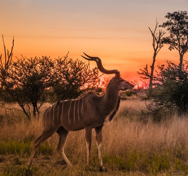 Nature Story: #2 Greater kudu