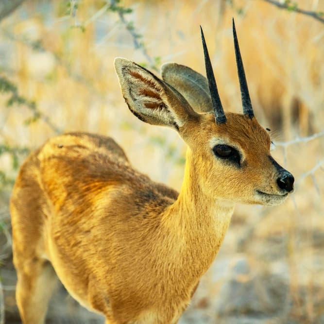 Nature Story: #3 Steenbok