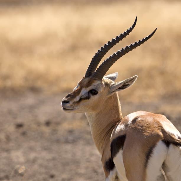 Nature Story: #6 Thomson's gazelle
