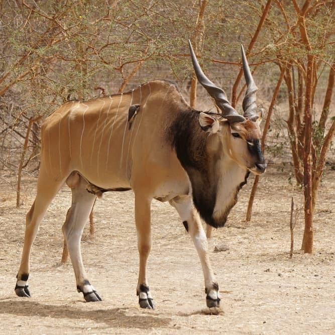 Nature Story: #9 Giant eland