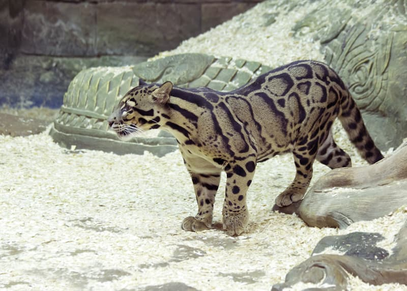 Nature Story: #1 Fantastic Clouded Leopard