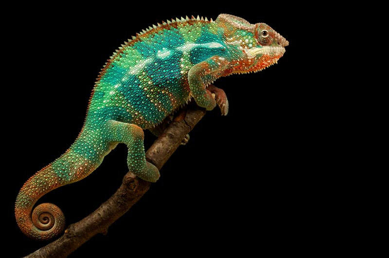 Nature Story: #7 Chameleon can rotate the eyes in 180 degrees horizontally