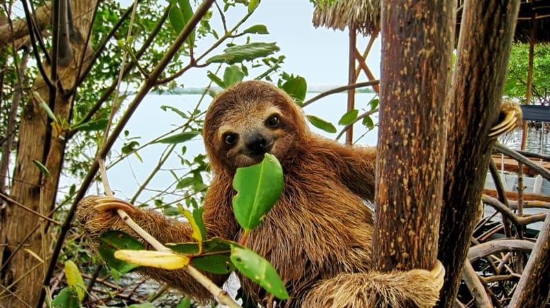 Nature Story: #1 Three-Toed Sloth