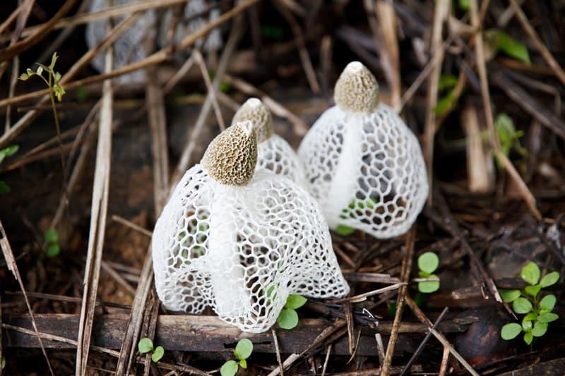 Nature Story: #5 Phallus indusiatus