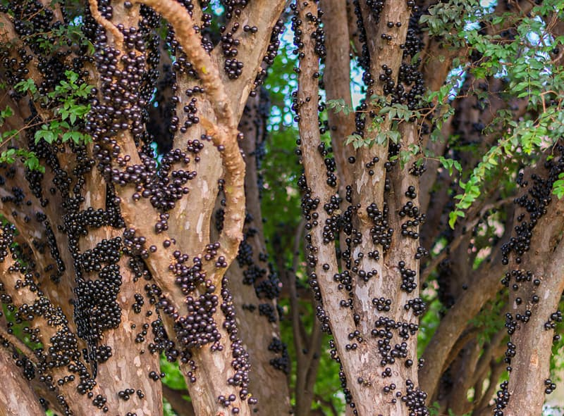 Nature Story: #4 Jabuticaba is native to Brazil. It resembles grape and is used in jam.
