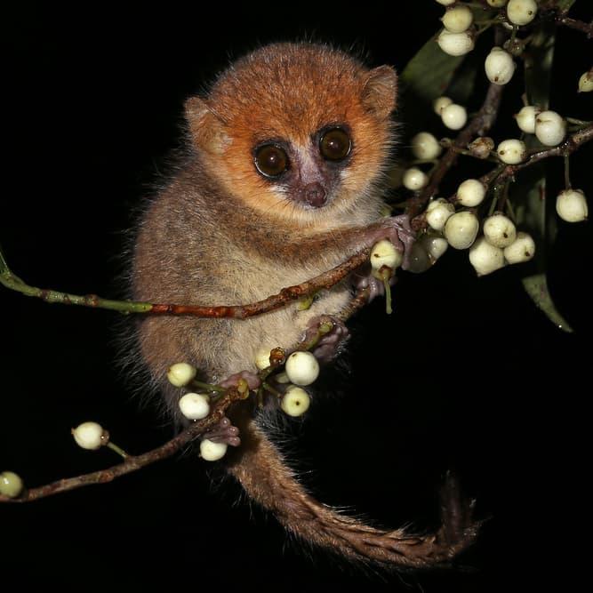 Nature Story: #3 Mouse lemur