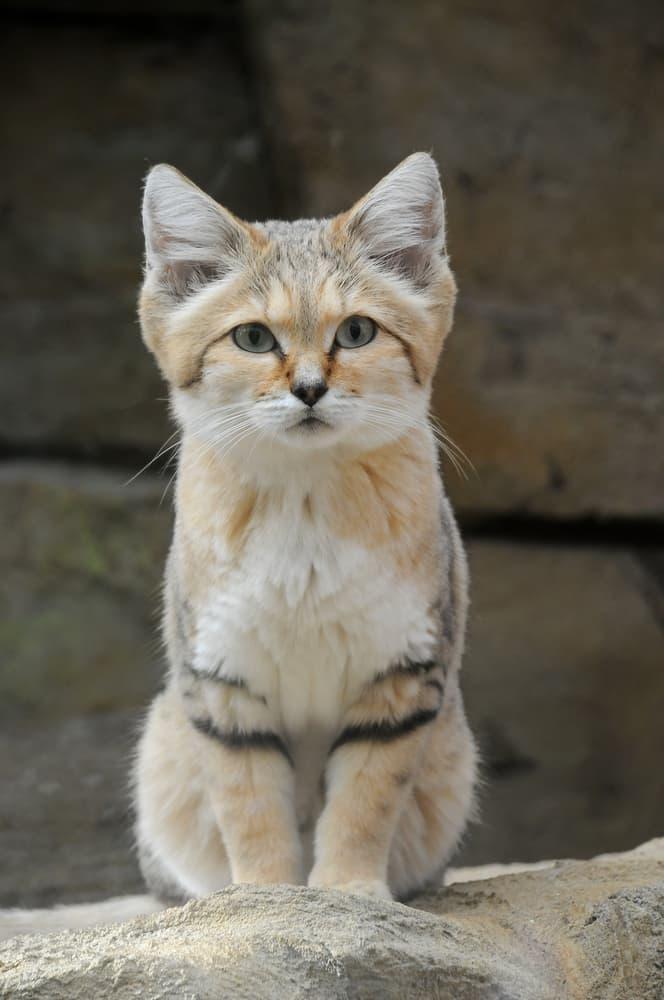 Nature Story: #5 Sand cat