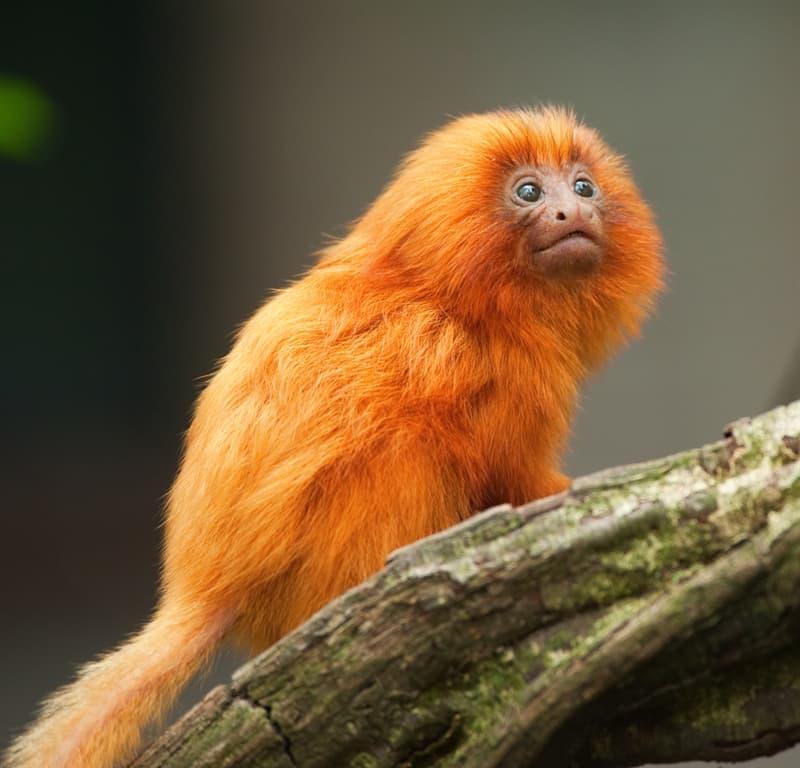 Nature Story: #8 Golden lion tamarin
