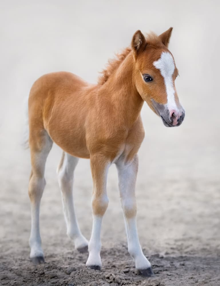 Nature Story: American miniature horse is one of the most popular breeds of miniature horses.
