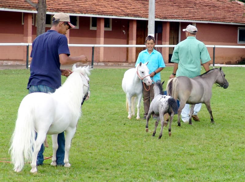 Nature Story: Most miniature horses retain horse characteristics, that's why they are not considered ponies.