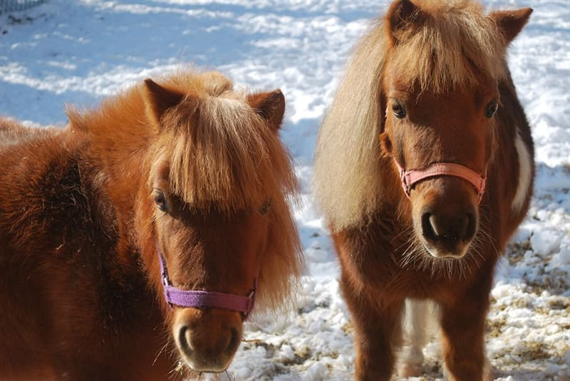 Nature Story: Miniature horses usually live over the age of 30, which is considered a long lifespan.