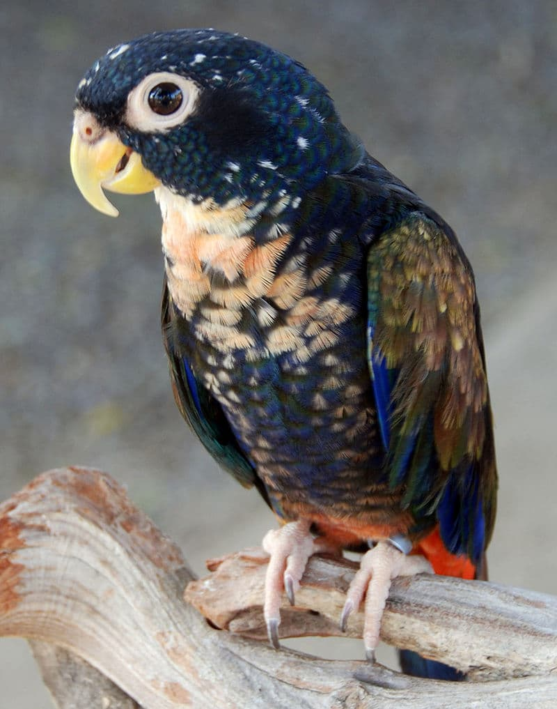 Nature Story: #1 Bronze-winged parrot