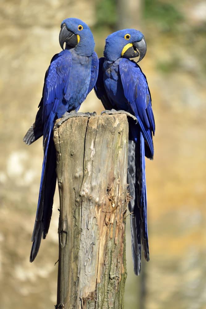 Nature Story: #10 Hyacinth macaw