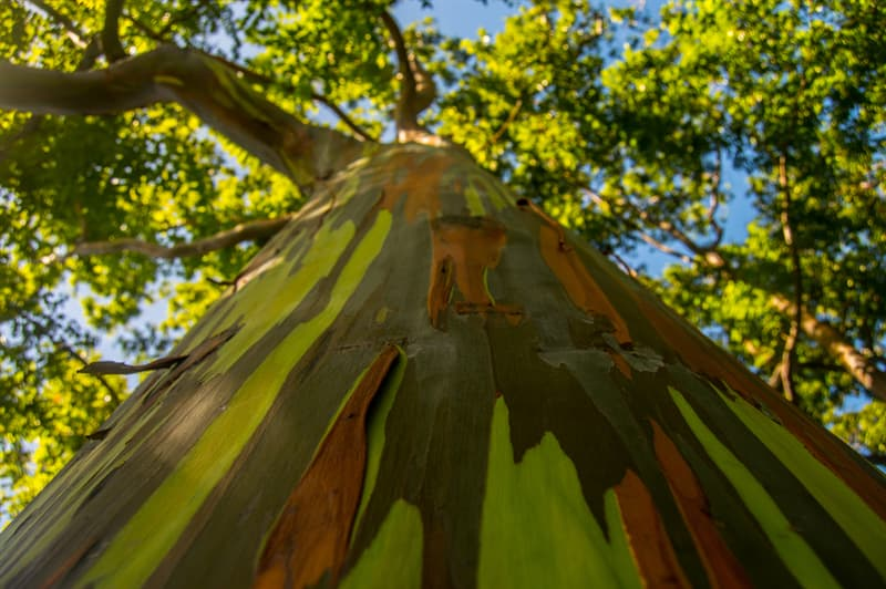 Nature Story: #2 Eucalyptus with rainbow bark