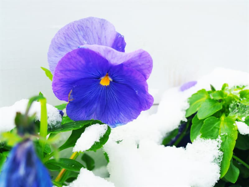 Nature Story: #1 Pansy