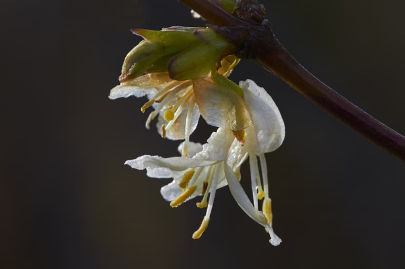 Nature Story: #10 Winter honeysuckle