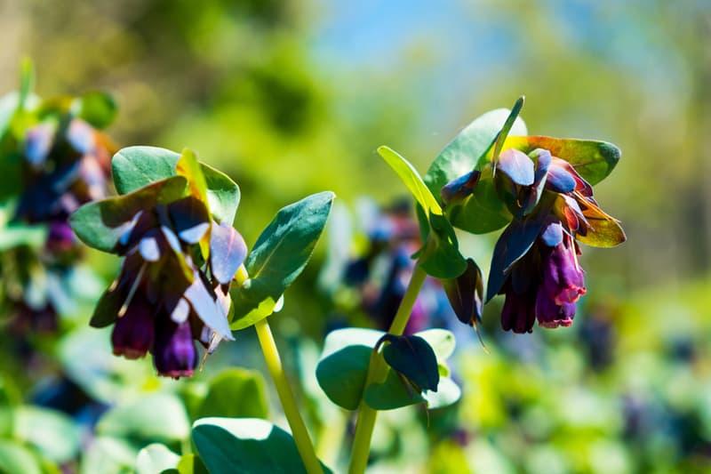 Nature Story: #4 Honeywort