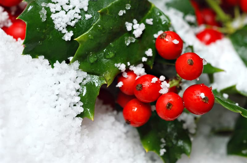 Nature Story: #6 Holly Bushes