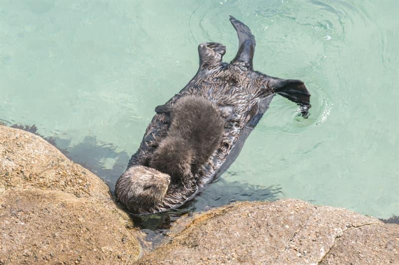 Nature Story: #1 Sea otter