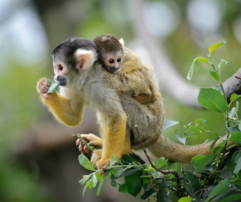 Nature Story: #12 Squirrel monkey