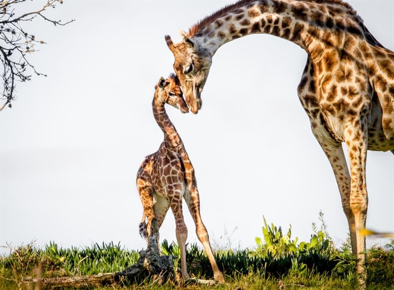 Nature Story: #16 Giraffe