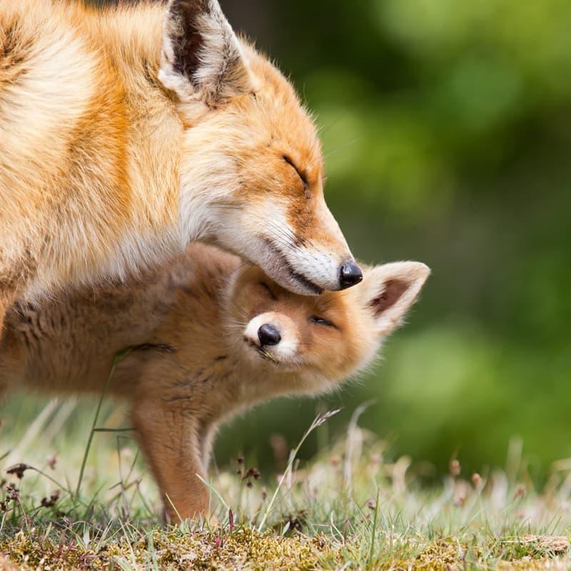 Nature Story: #5 Fox