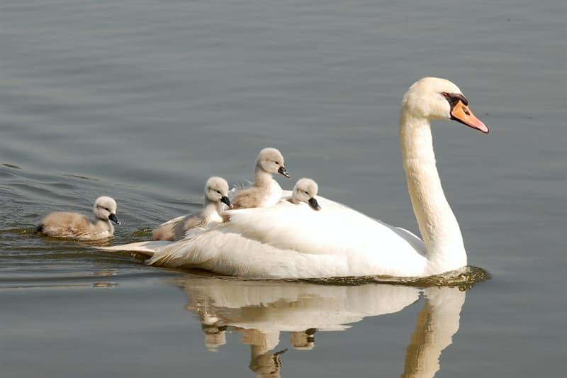 Nature Story: #8 Swan