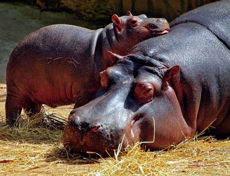 Nature Story: #9 Hippopotamus