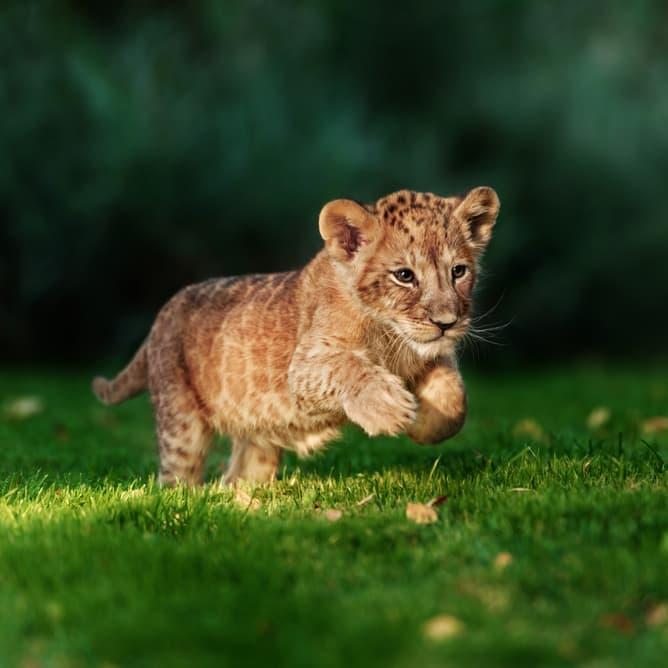 Nature Story: #1 Lion