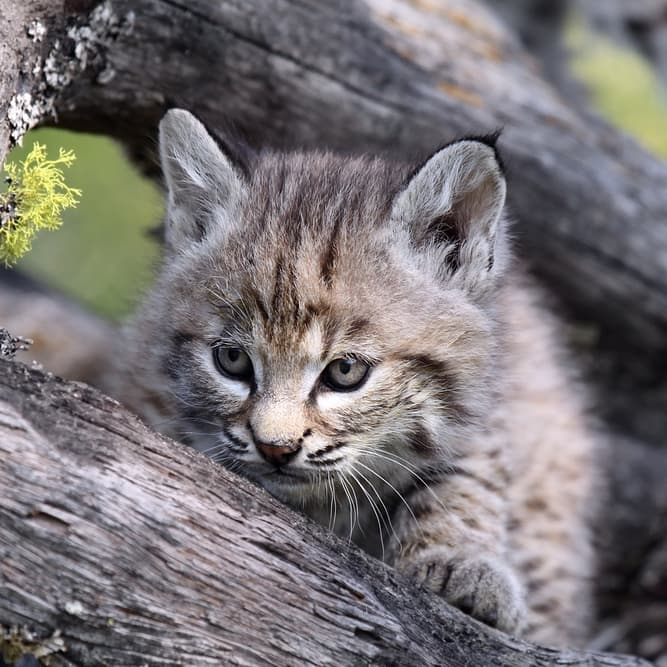 Nature Story: #10 Canadian lynx